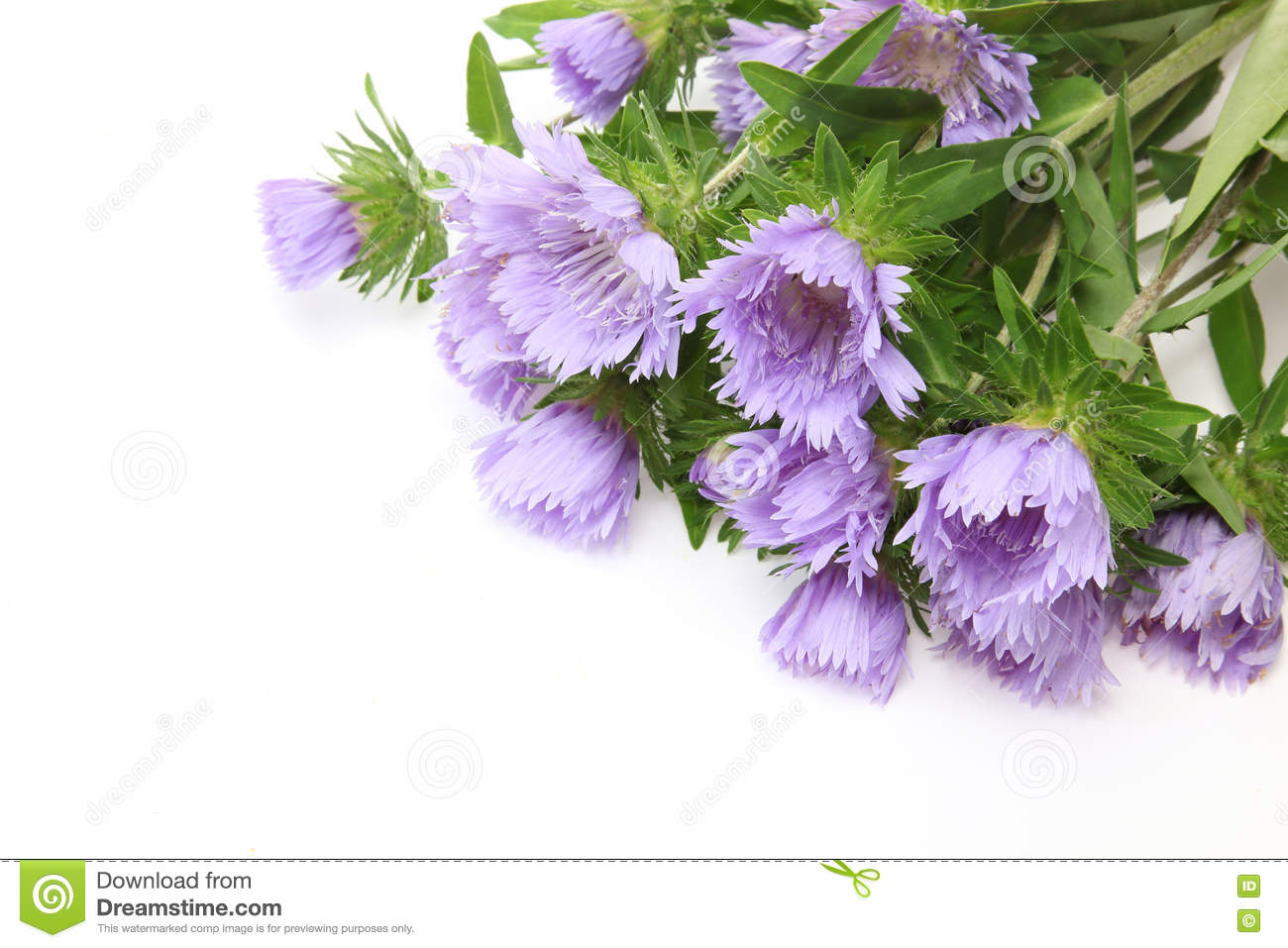 Bouquet Of Pincushion Flowers In A White Background Stock Image