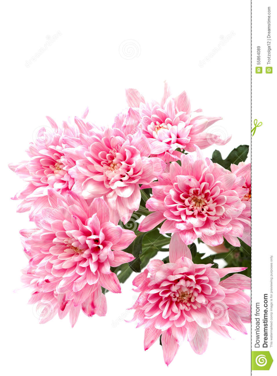 Bouquet of pink chrysanthemums on white background.