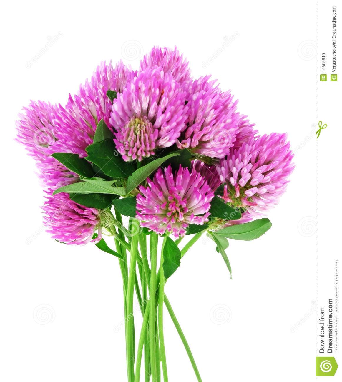 Bouquet Of Pink Clover Flowers Stock Photo Image Of Closeup Field
