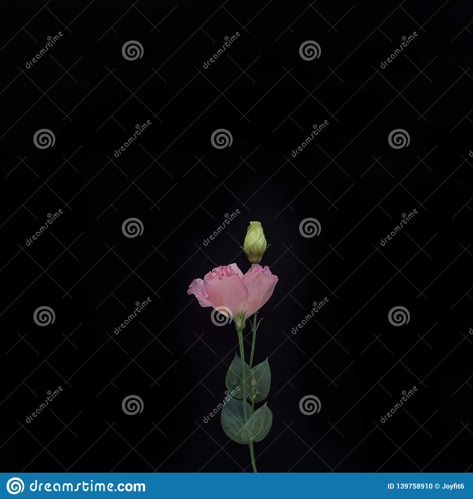 Bouquet of pink eustomas with bud on a black background stock photo