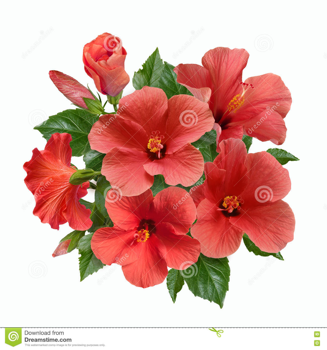 A Bouquet Of Pink Hibiscus Flowers And Buds Stock Photo - Image of ...