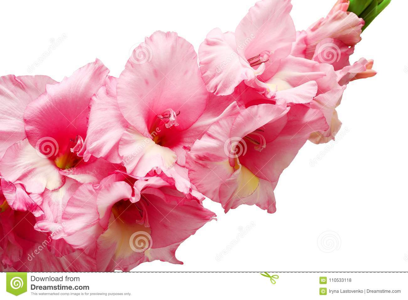 Bouquet Of Pink And Lilac Gladioli. Rose-color Flowers Close-up ...