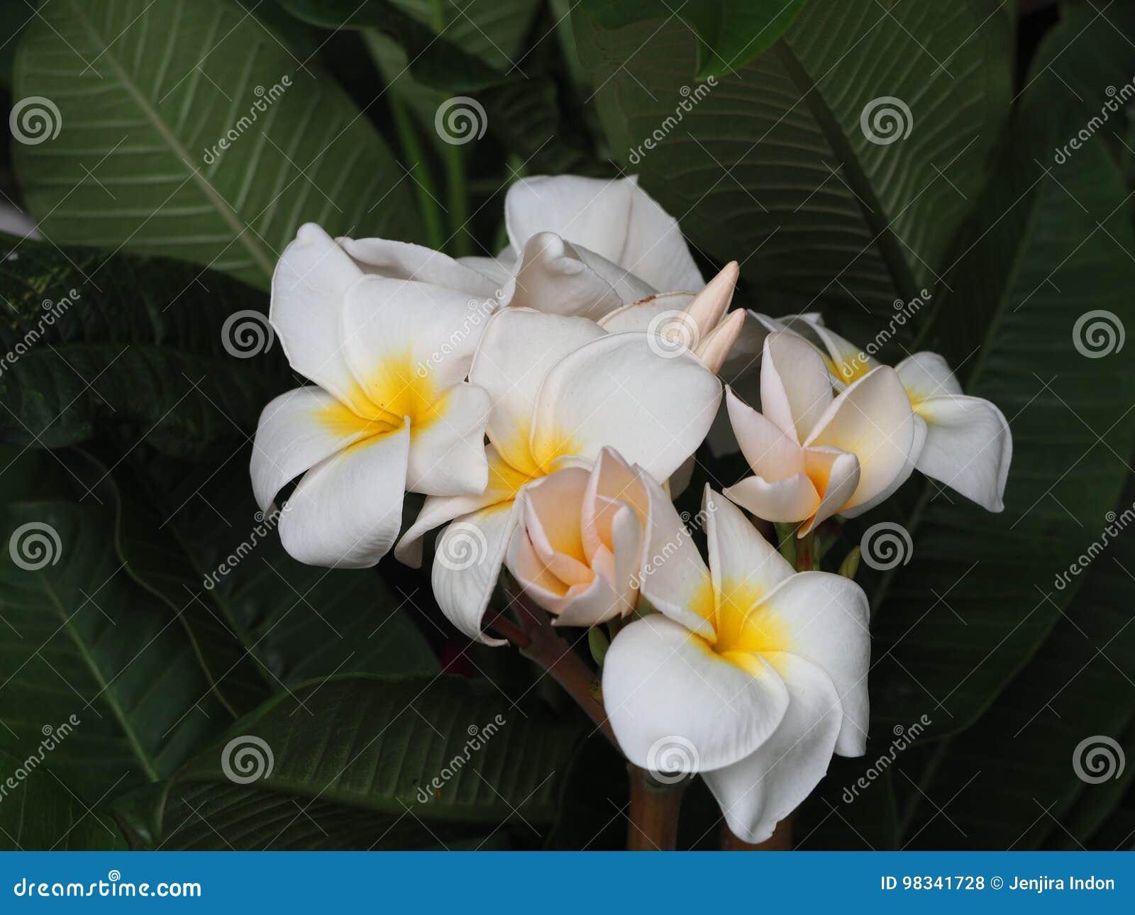Bouquet of plumeria flowers stock photo image of closeup download bouquet of plumeria flowers stock photo image of closeup hawaiian 98341728 izmirmasajfo