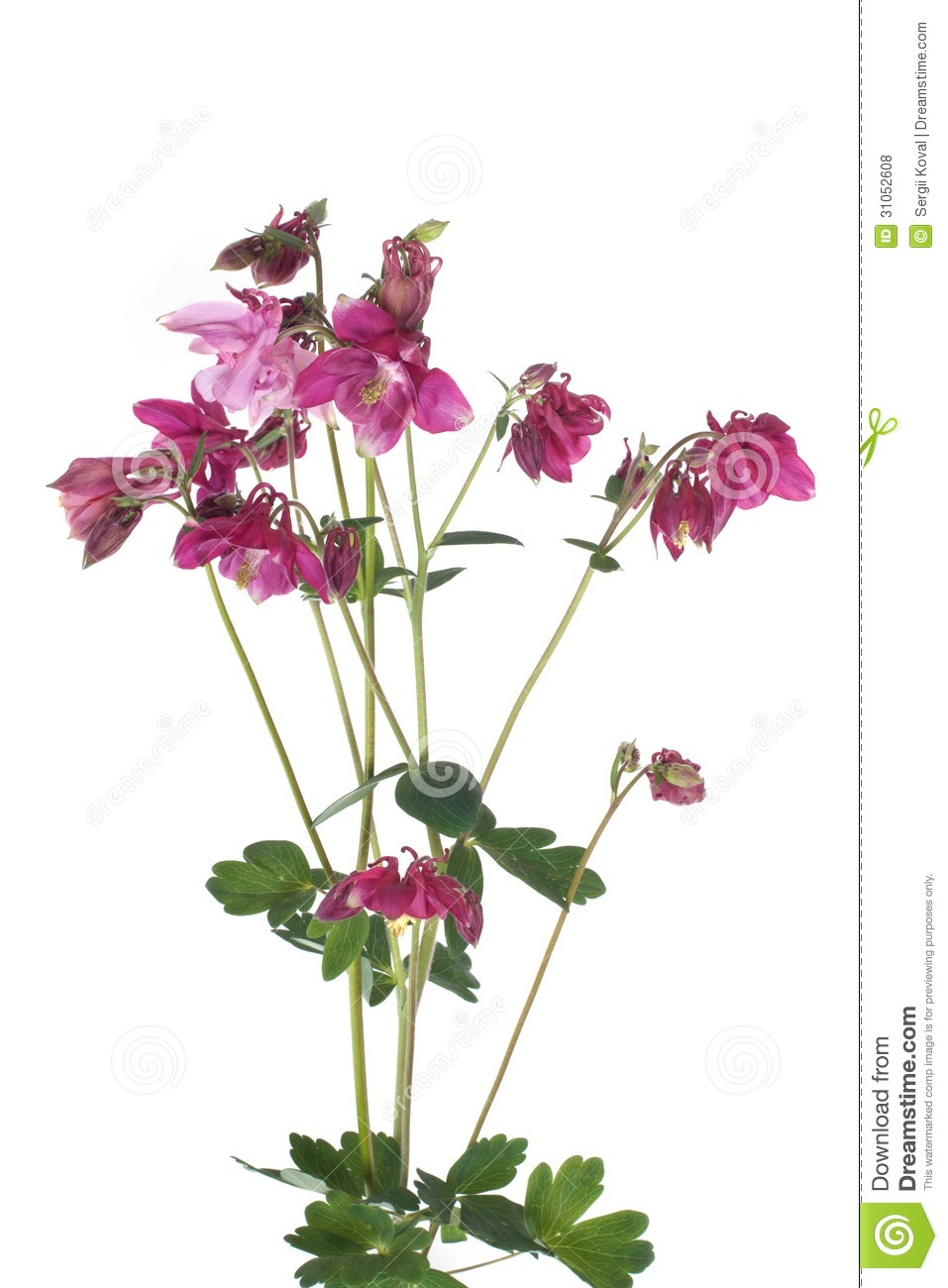 Bouquet Of Purple Flowers Columbine Isolated On White Stock Photo