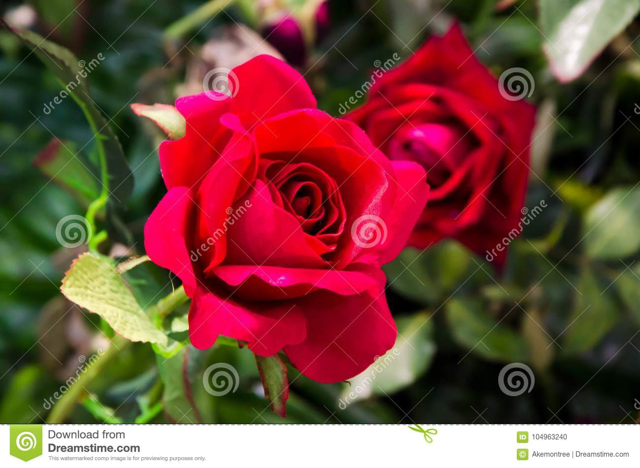 Love Garden Roses: Bouquet Of Red Rose On Bush In Green Garden Stock Photo