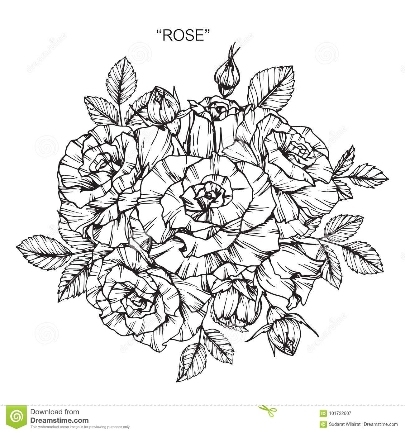 Bouquet of rose flower drawing and sketch with line art on white backgrounds