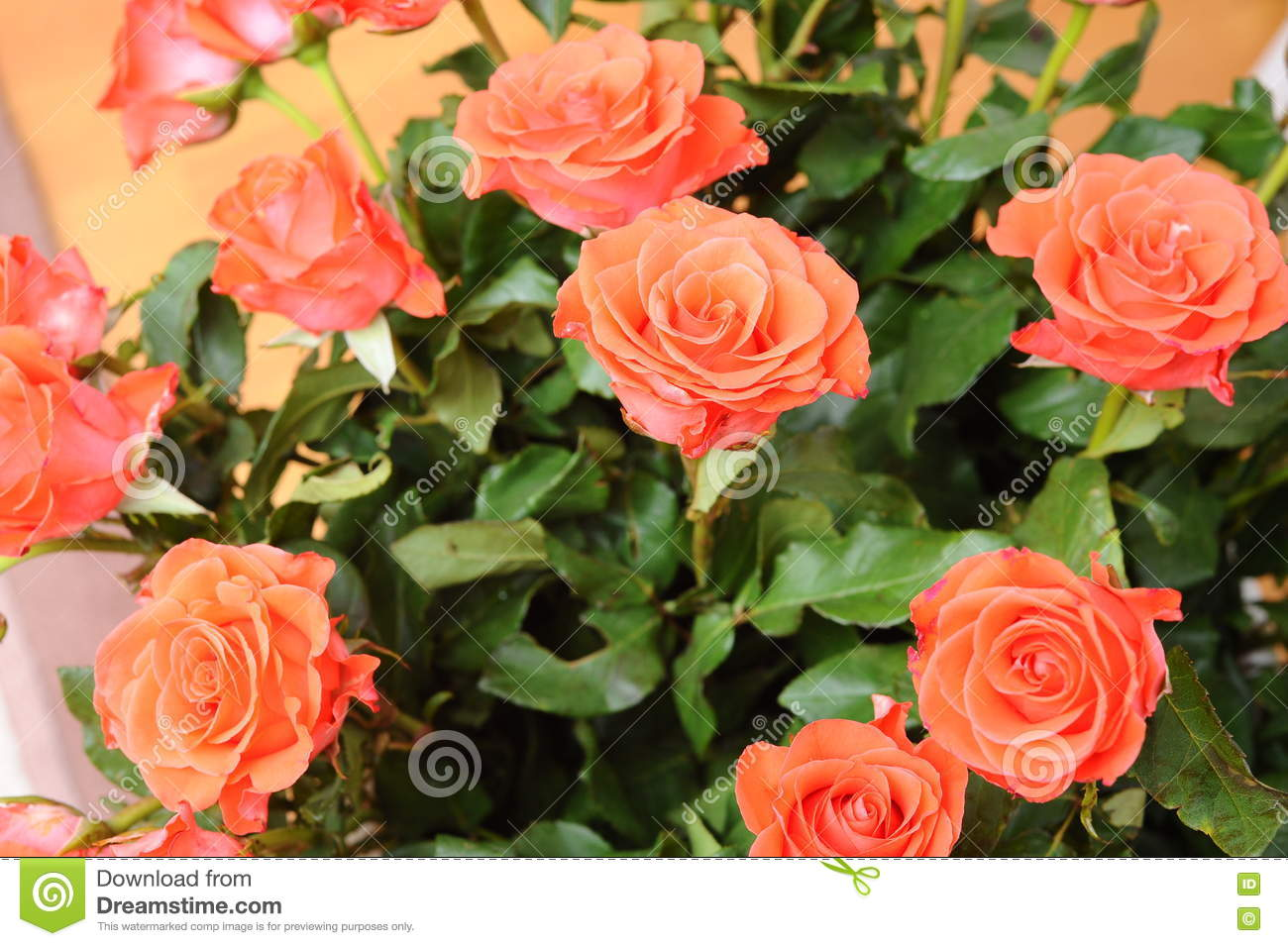 A bouquet of roses beige stock photo image of celebration 70504858 roses the most beautiful flowers in the world a special bouquet for a special celebration izmirmasajfo