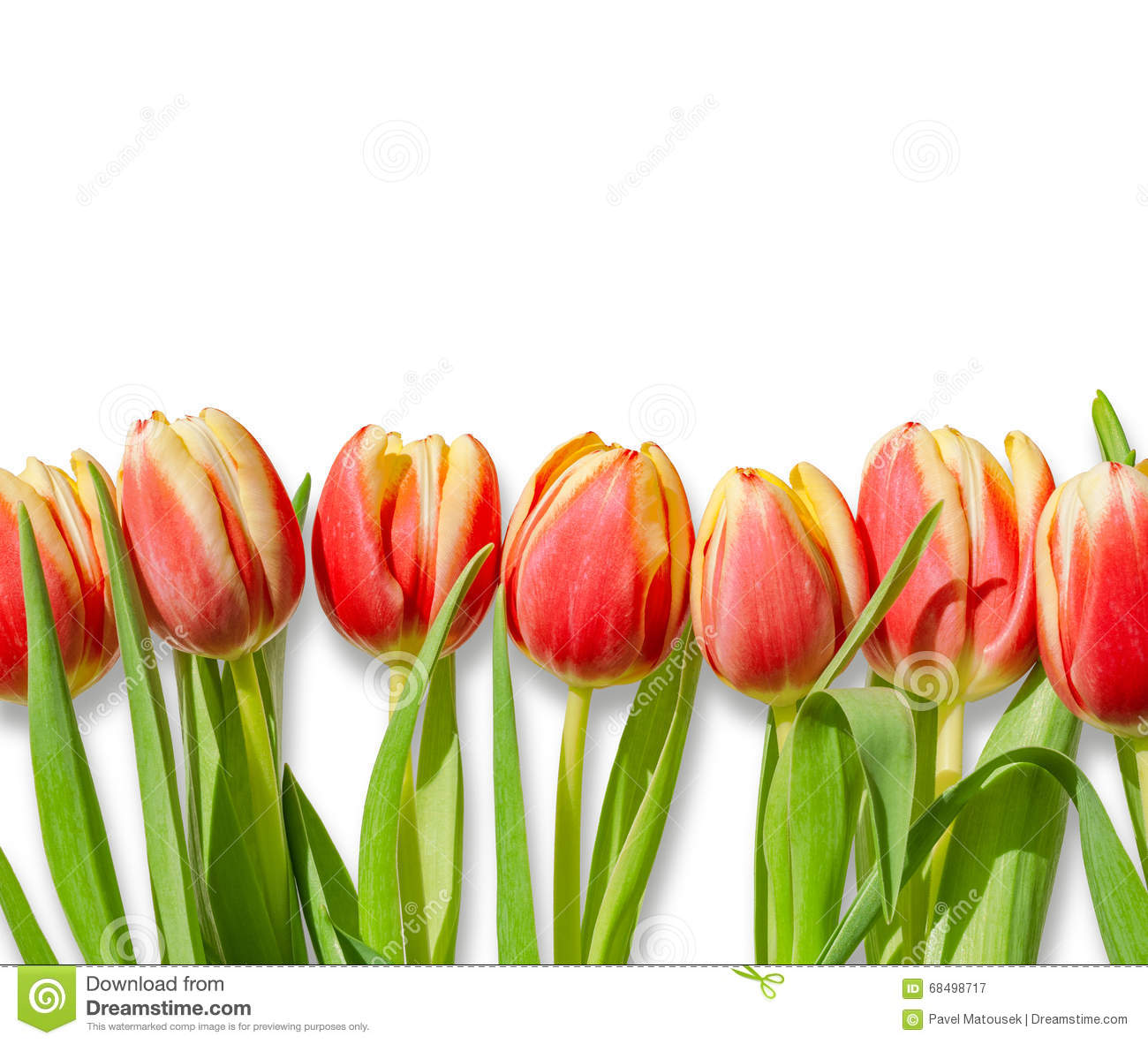 d7a3727aa Bouquet   Row Of Red Tulips Isolated On White Background Stock Image ...