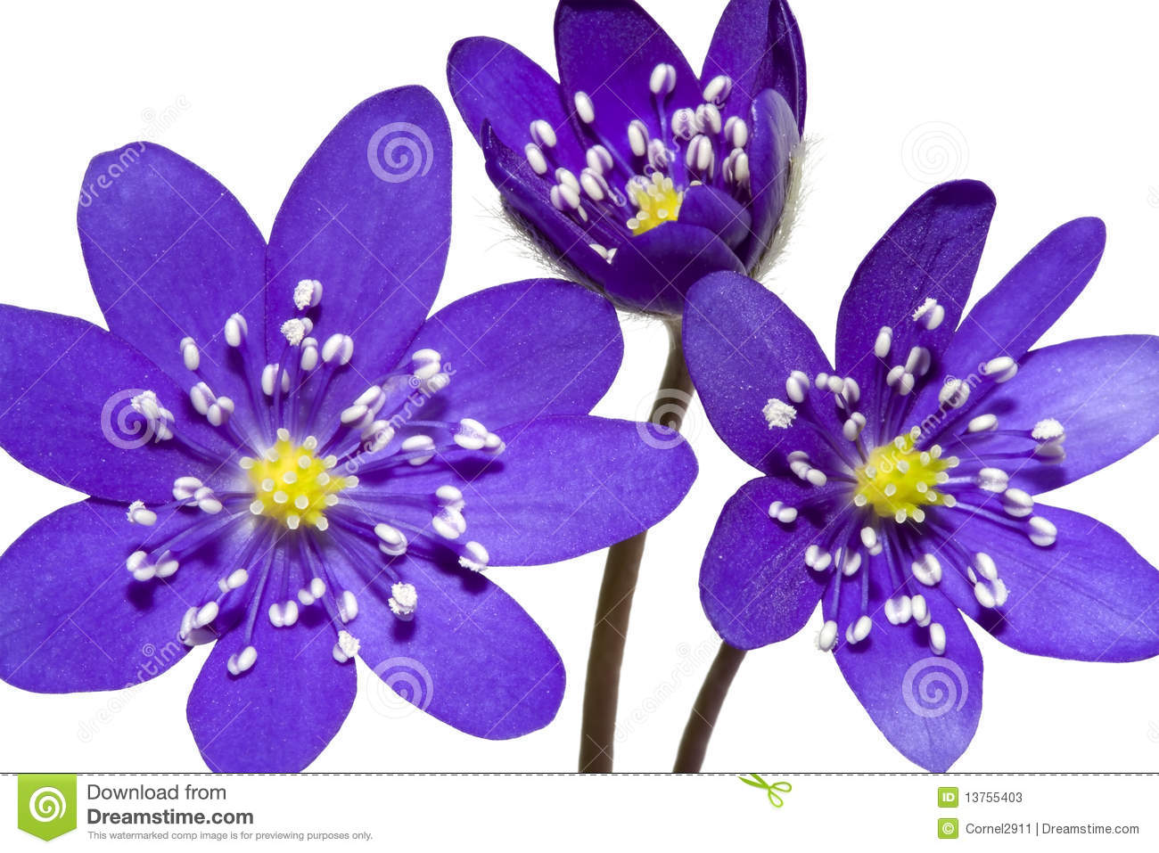 Bouquet Of Spring Mountain Purple Flower Stock Photos