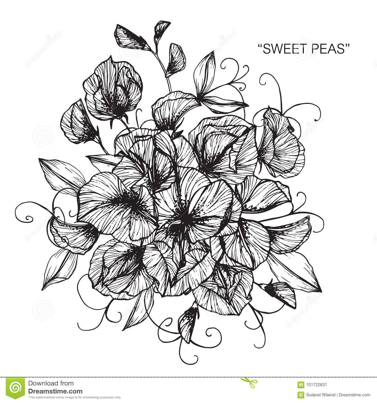 Bouquet of sweet pea flowers drawing and sketch stock illustration bouquet of sweet pea flowers drawing and sketch izmirmasajfo