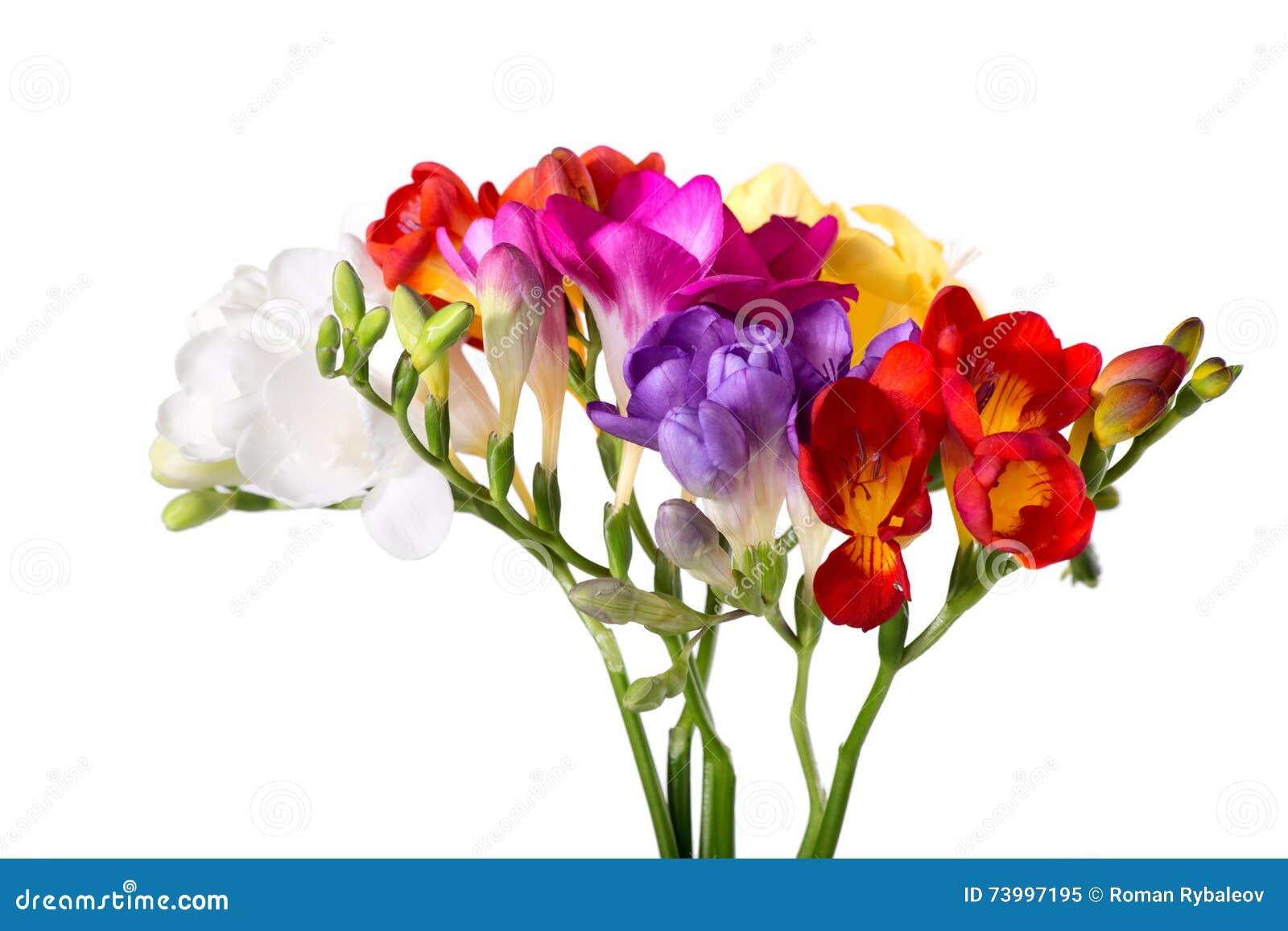 Bouquet vibrant de freesias d isolement sur le fond blanc