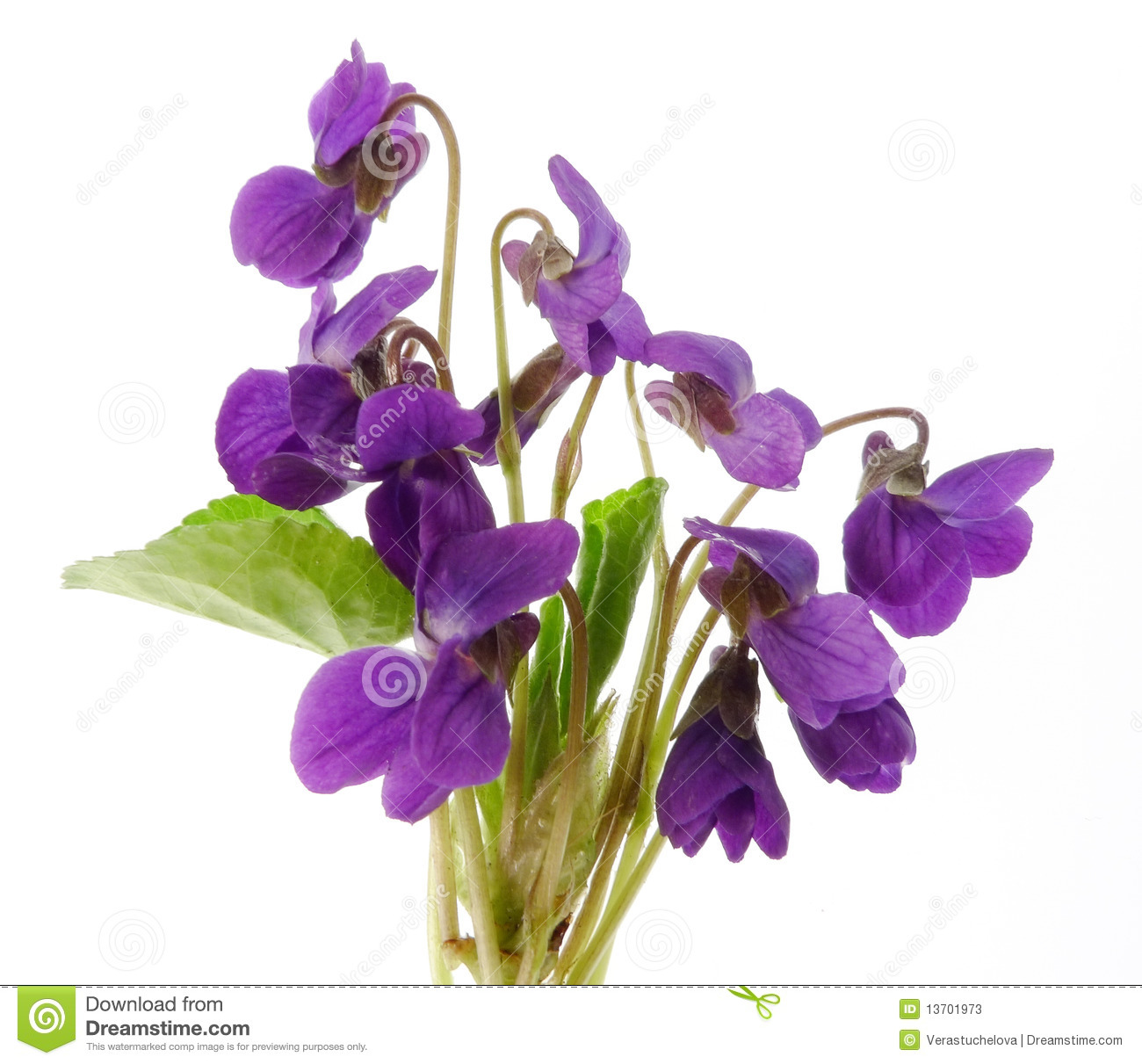 bouquet of violets on white background stock image image of meadow bouquet 13701973. Black Bedroom Furniture Sets. Home Design Ideas