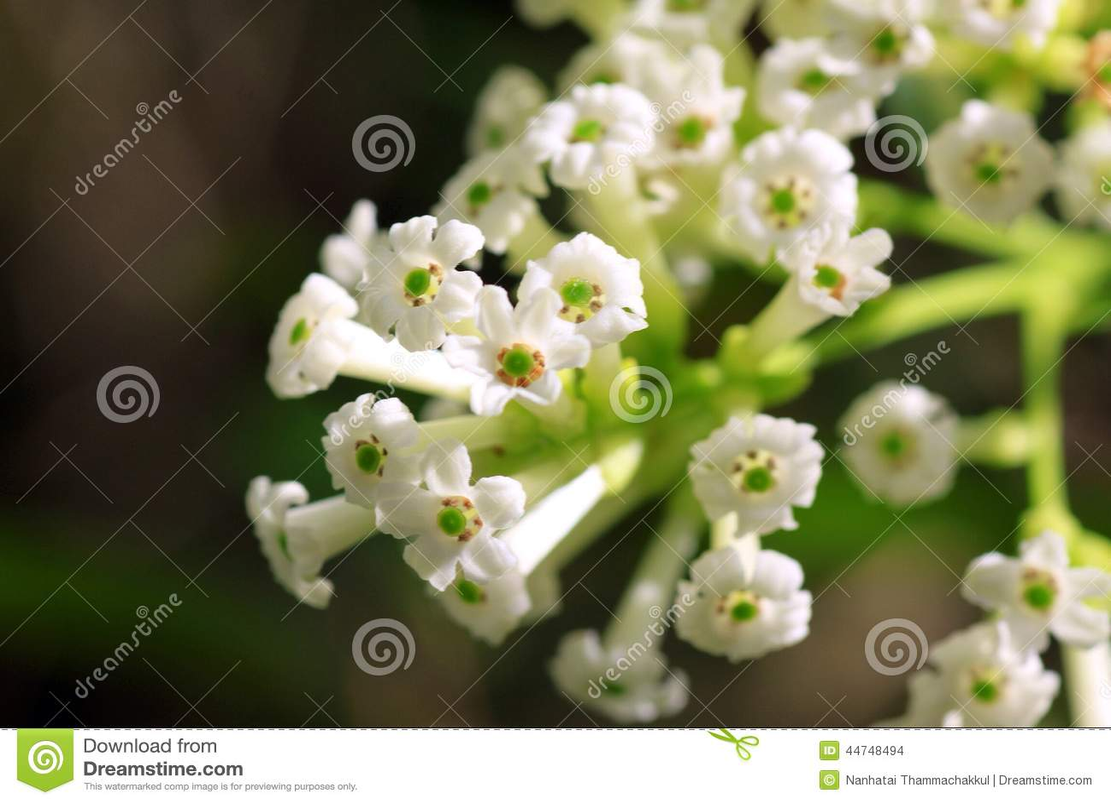 Bouquet of white flower stock photo image of nature 44748494 small bouquet of white flower name day cestrum mightylinksfo