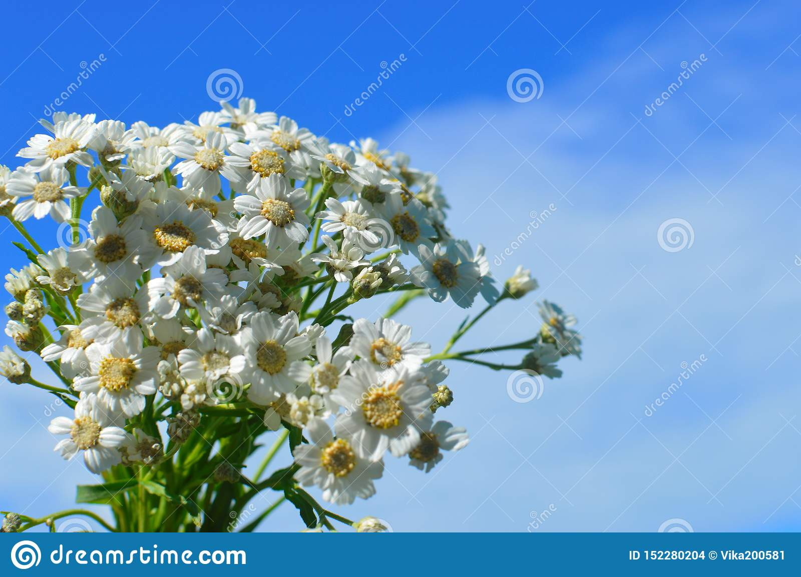 A bouquet white wild camomiles against the background of the blue sky.