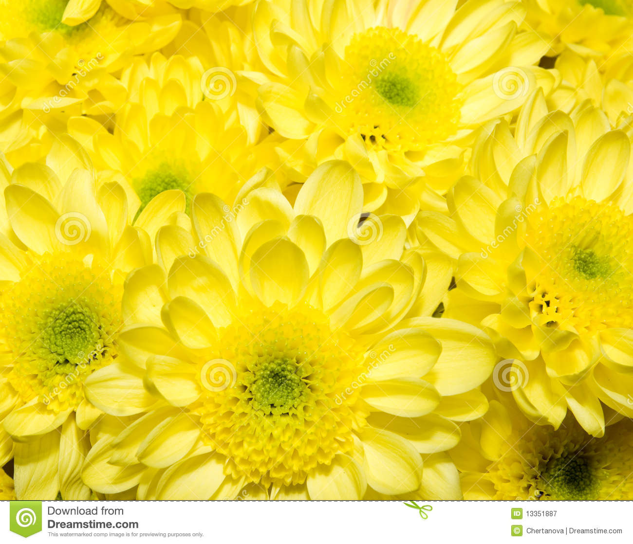 Bouquet Of Yellow Chrysanthemums Royalty Free Stock ...