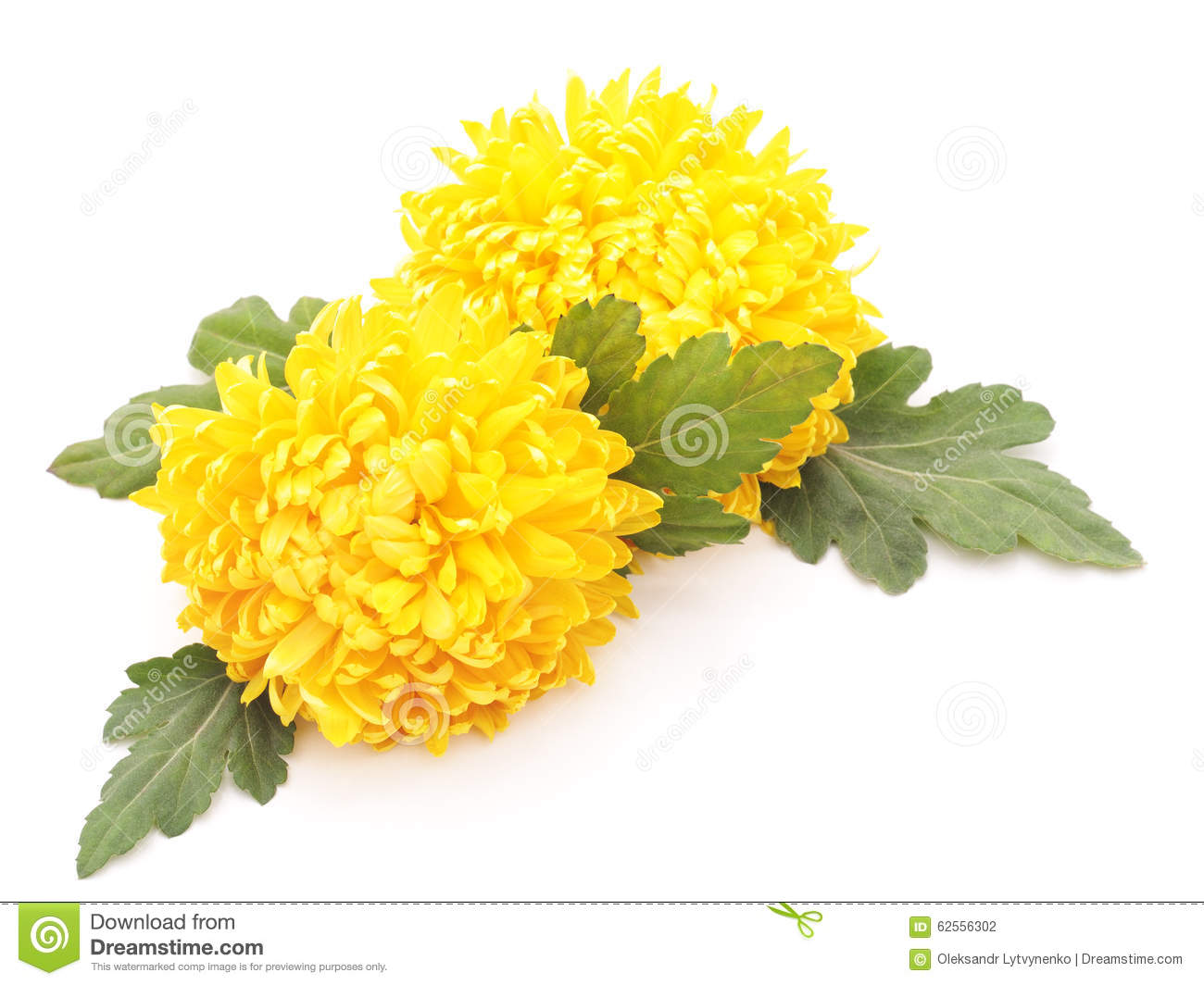 Bouquet Of Yellow Chrysanthemums. Stock Photo - Image ...