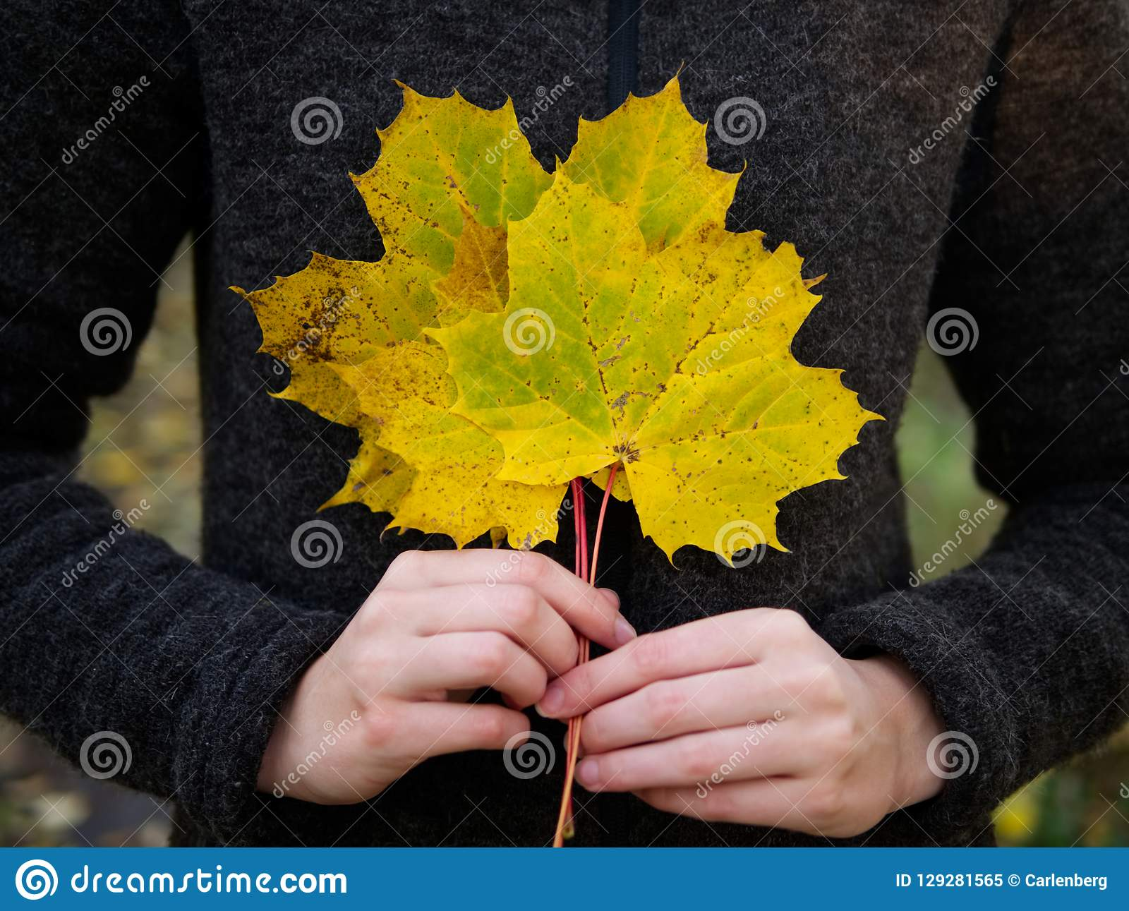 A bouquet of yellow maple leaves hold by a female hands