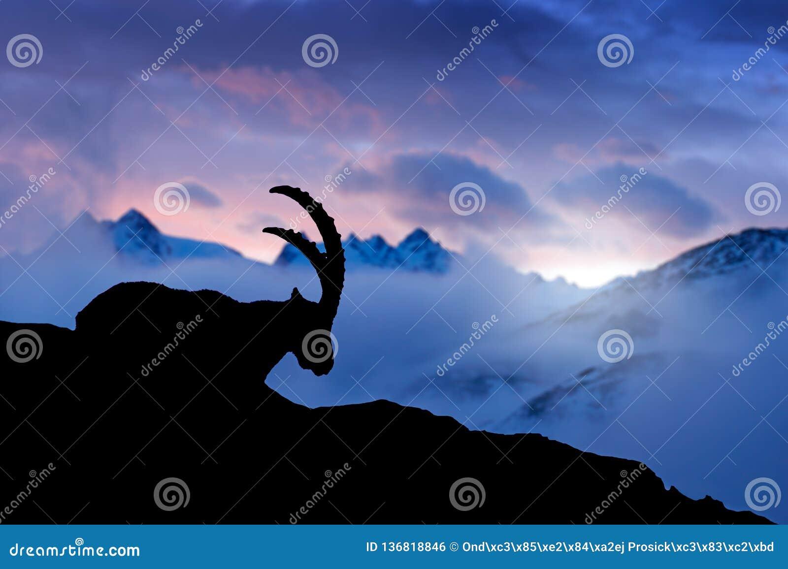 Bouquetin alpin, animal dans l habitat de roche de nature, France Nuit crépusculaire dans la haute montagne Silhouette de bouquet