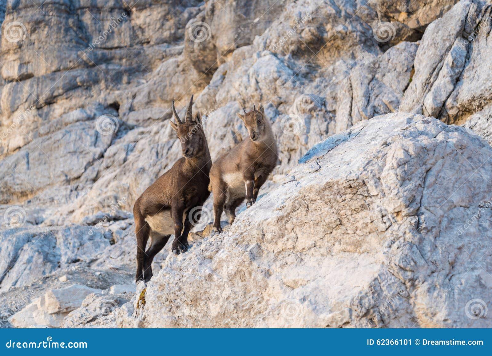 Bouquetins alpins