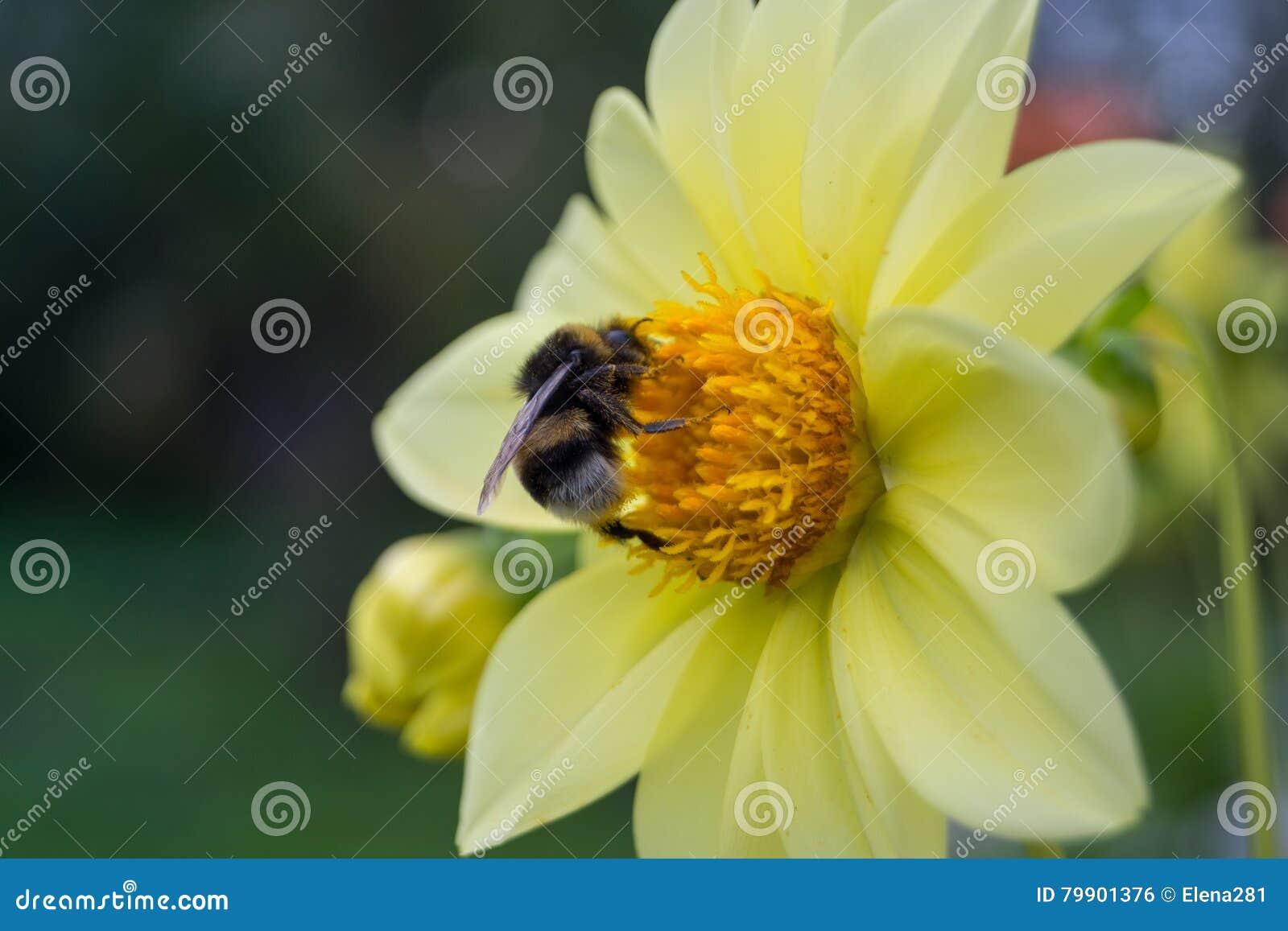 bourdon se reposant sur un dahlia jaune de fleur photo stock