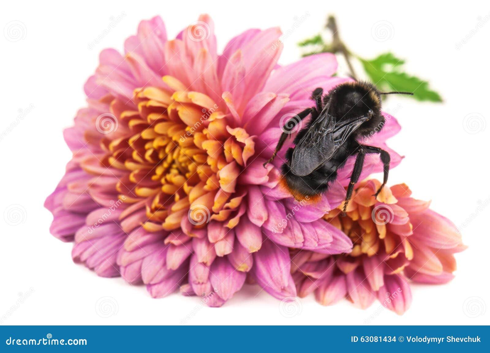 Download Bourdon Sur La Fleur Pourpre Photo stock - Image du pourpré, aile: 63081434