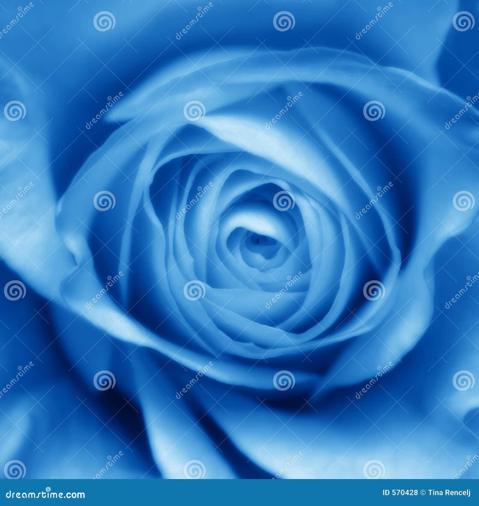 Bourgeon bleu de Rose