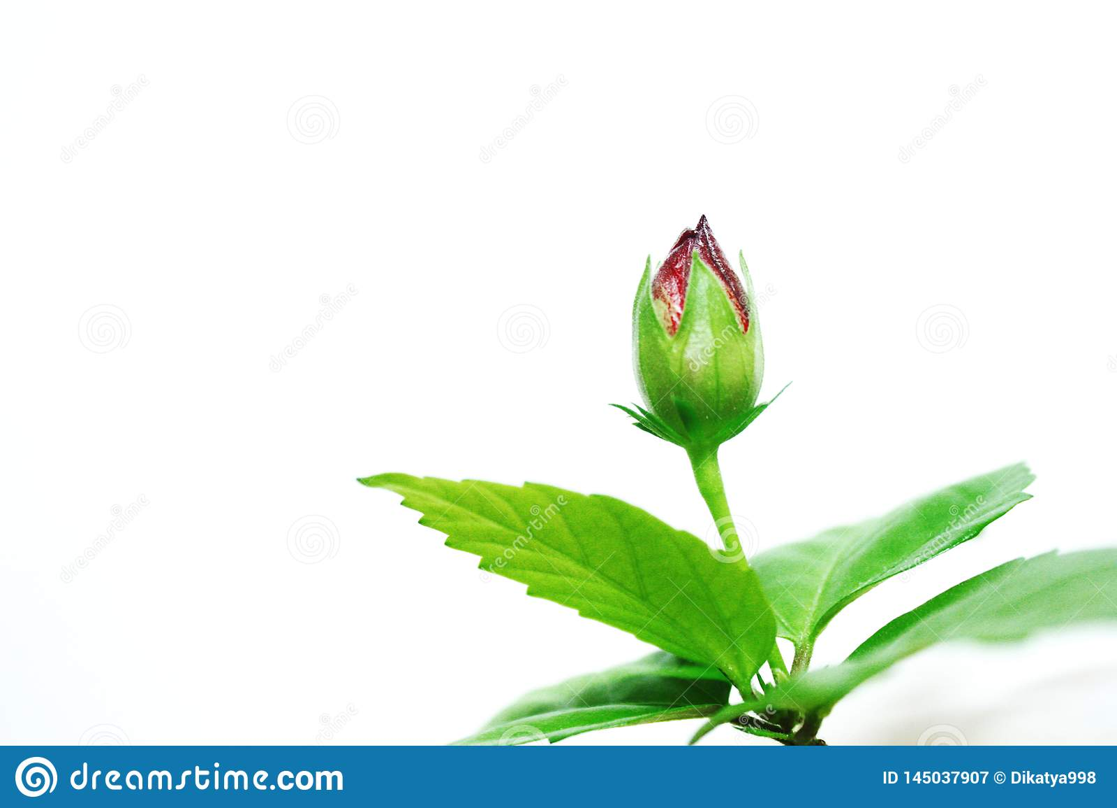 Bourgeon de fleur rose sur le fond blanc
