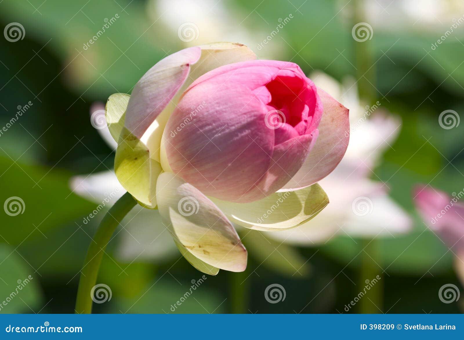 Bourgeon de lotus