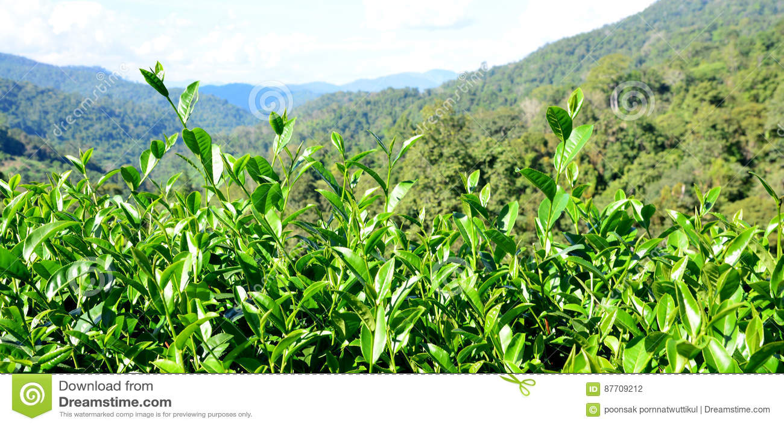 Bourgeon de thé vert et lames fraîches
