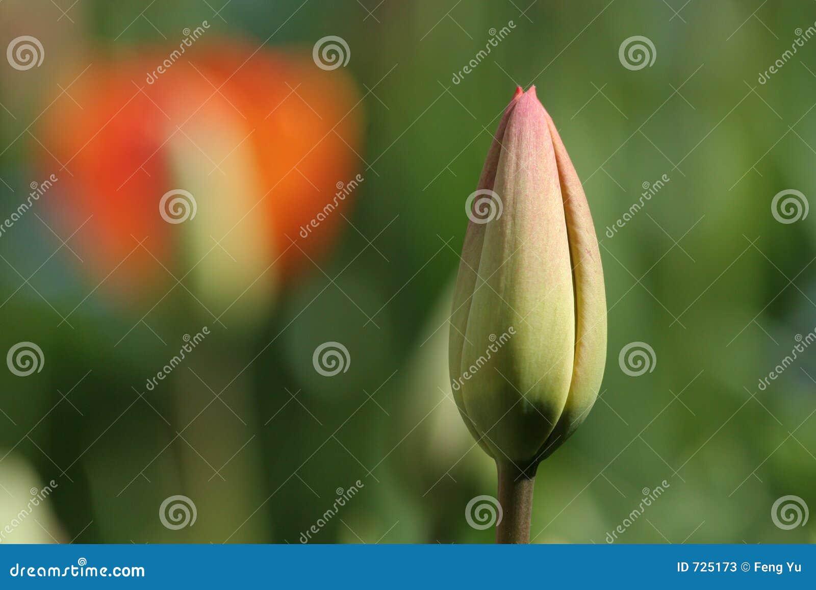 Bourgeon de tulipe