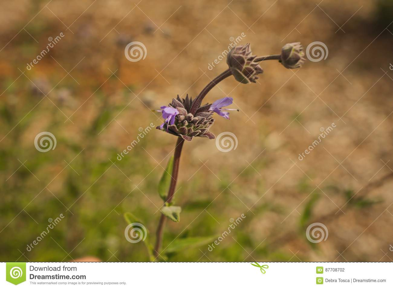 Bourgeonne le wildflower pourpre