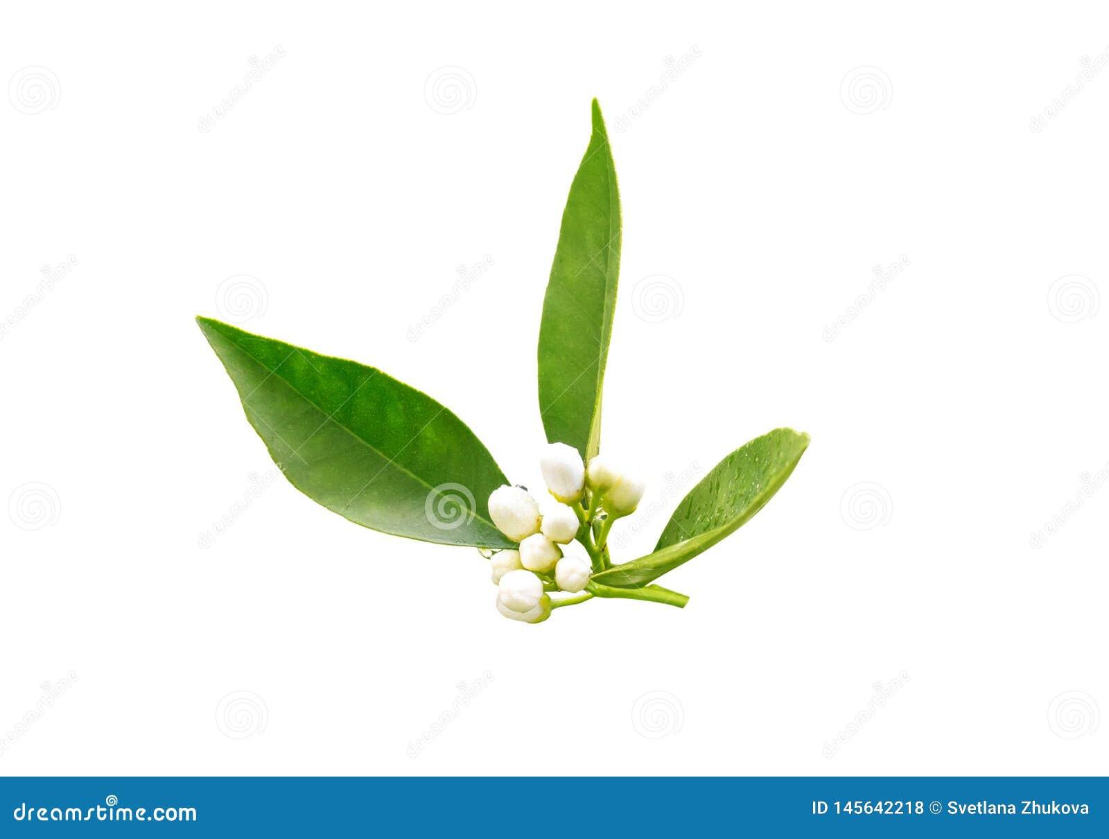 Bourgeons de neroli d arbre orange apr?s la pluie de ressort d isolement sur le blanc Fleur d Azahar