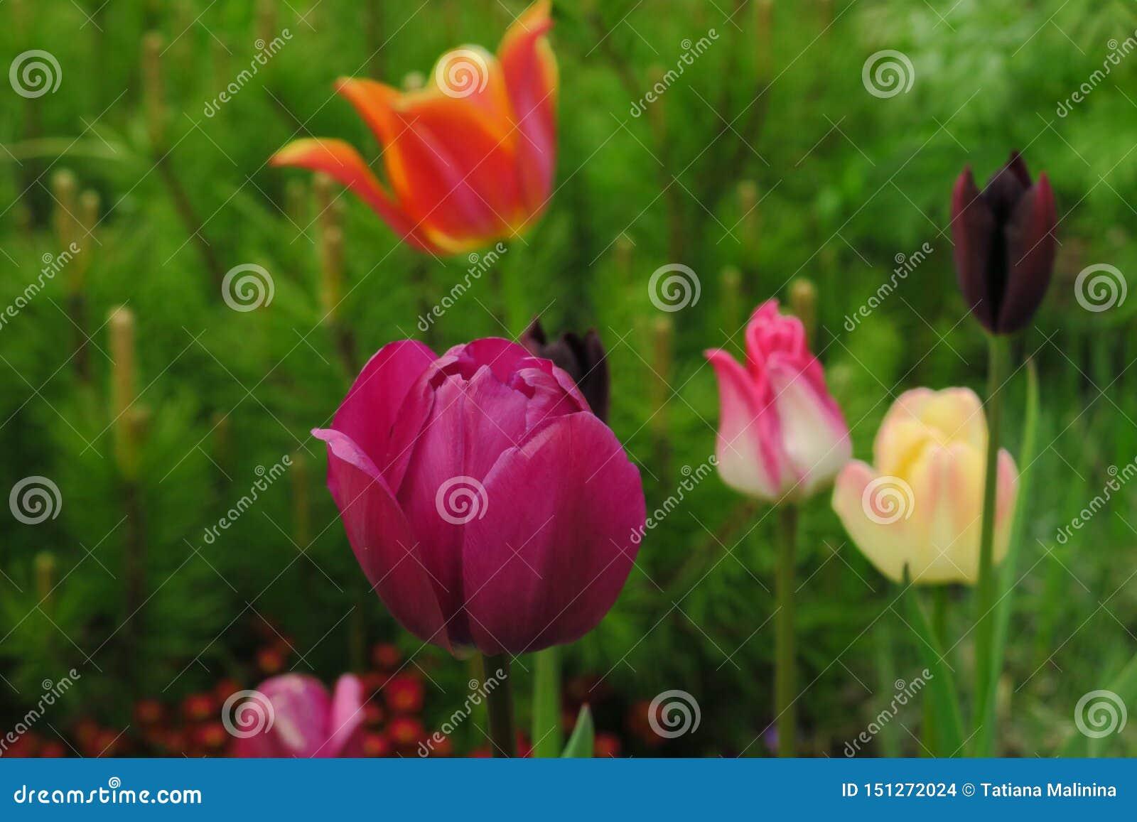 Bourgeons des tulipes roses avec les feuilles vertes fraîches dans les lumières molles au fond de tache floue avec l endroit pour