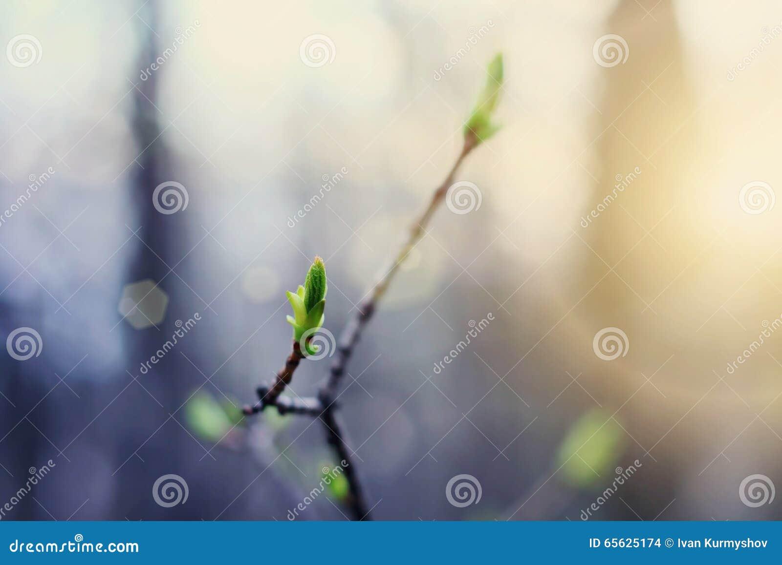 Bourgeons verts en fleur au coucher du soleil de printemps