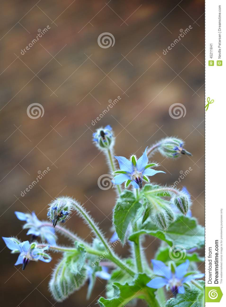 Bourrache - officinalis de Borago