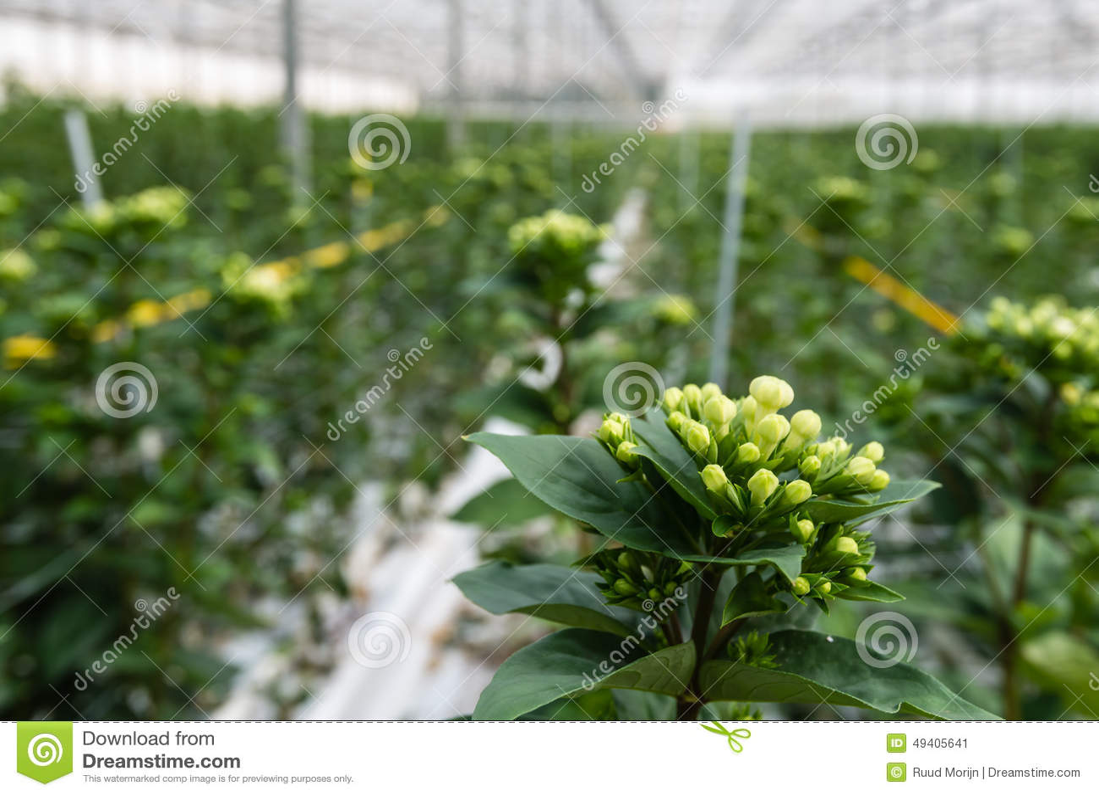 Download Bouvardia-Blumen In Einer Kindertagesstätte Stockbild - Bild von frisch, glashaus: 49405641