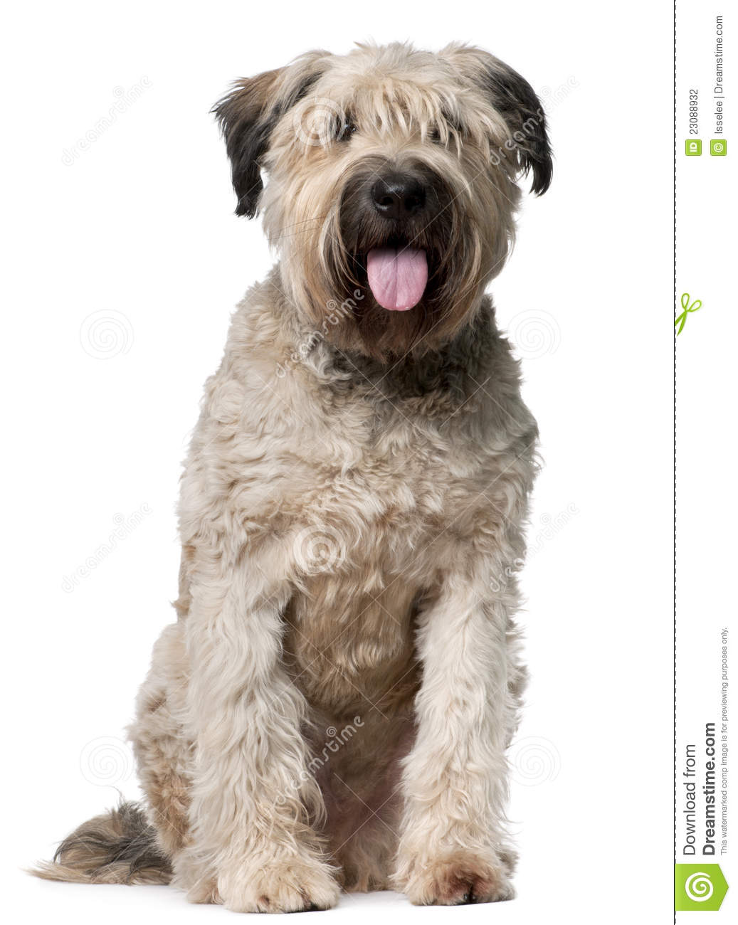 bouvier des flandres  2 years old  sitting stock photo