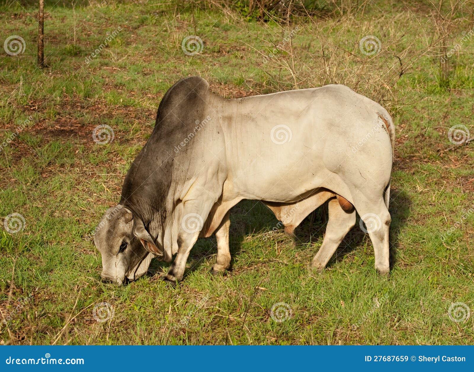 business plan allevamento bovini da carne