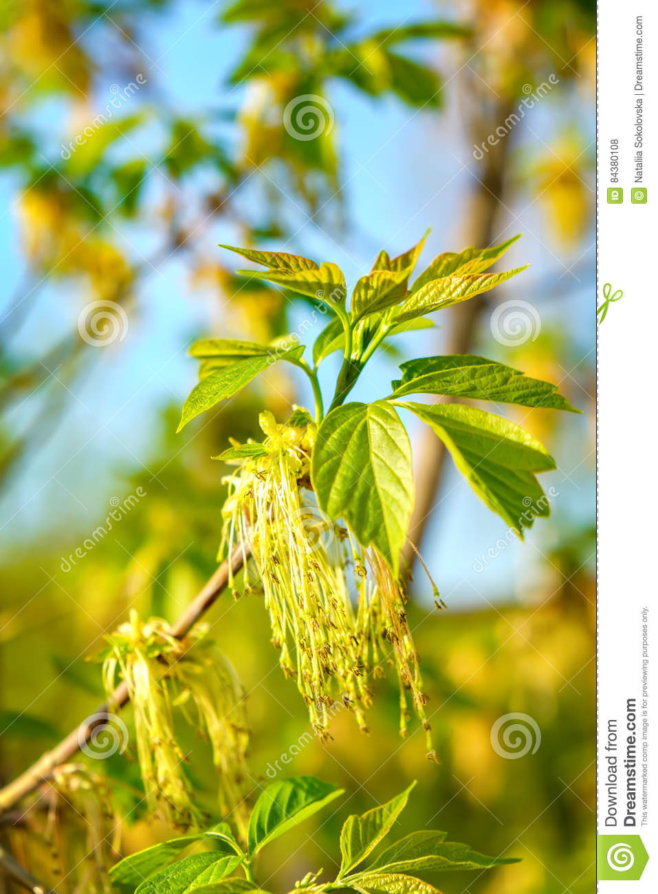 Box Elder Maple Or Acer Negundo Flower In Spring Stock Photo Image