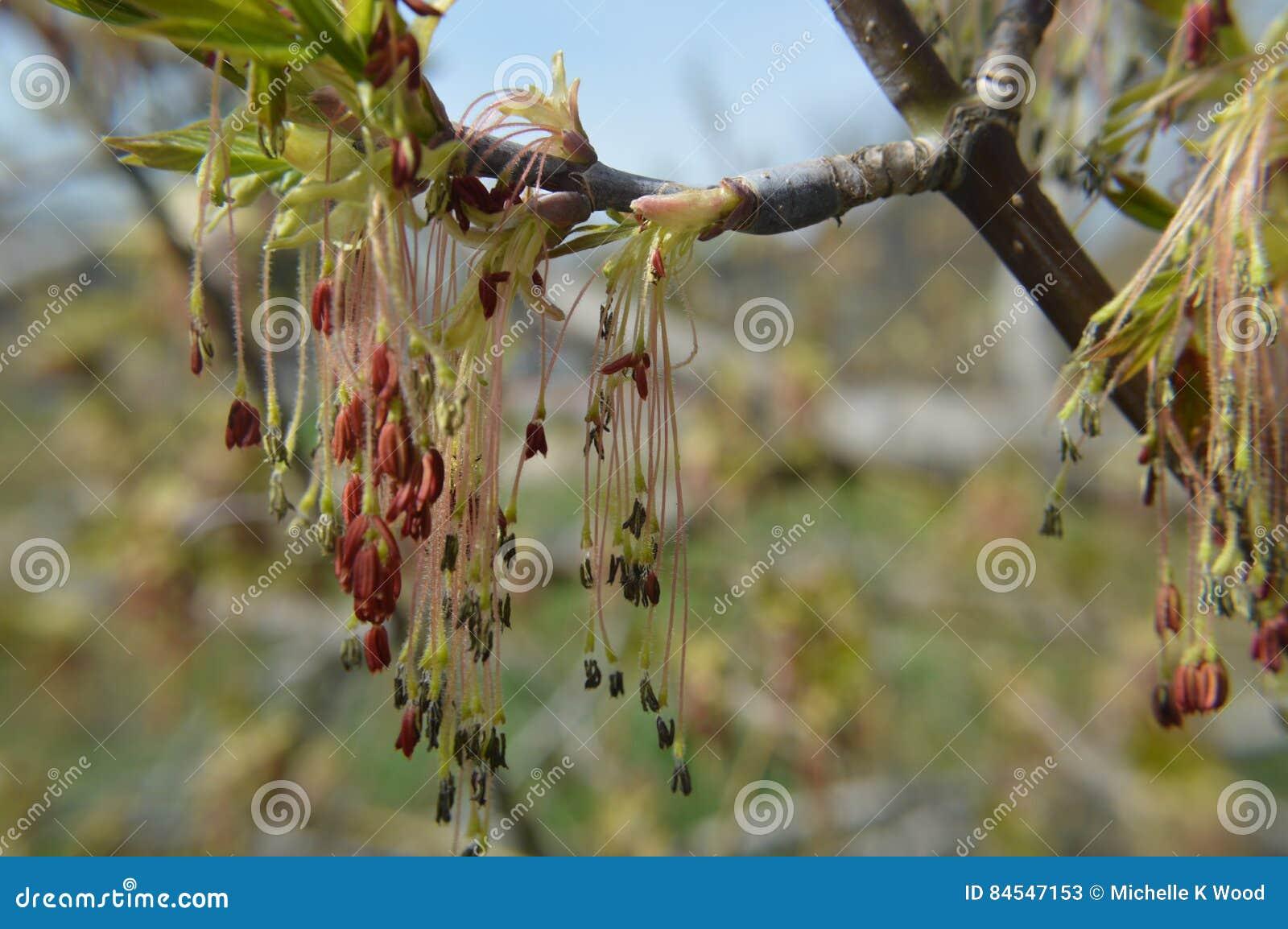 Box Elder Tree Flowers