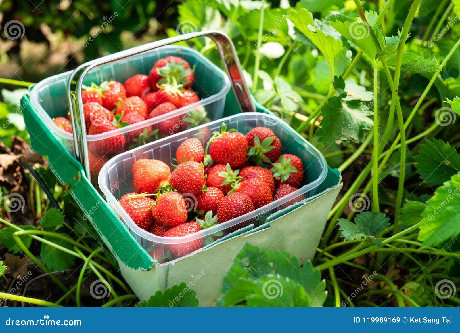 Box of Freshly Picked Strawberries