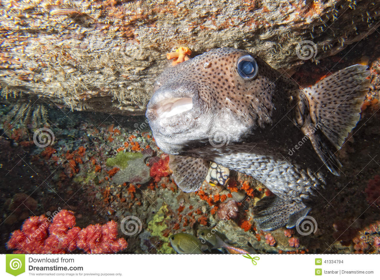 Box puffer fish in the reef stock photo image of for Puffer fish price