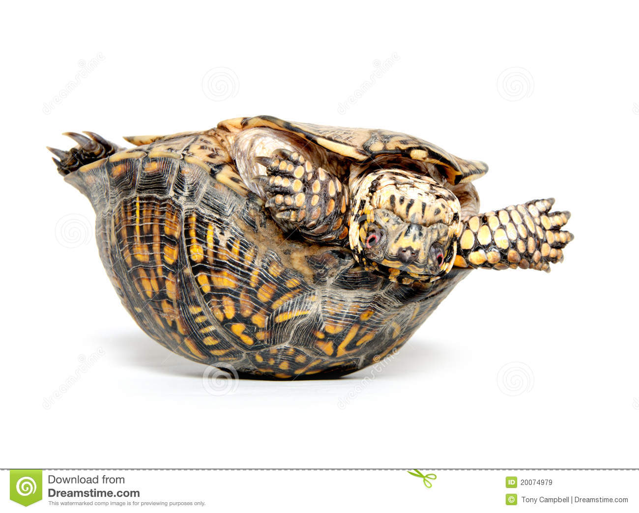 down turtle upside stock photos sign up for free