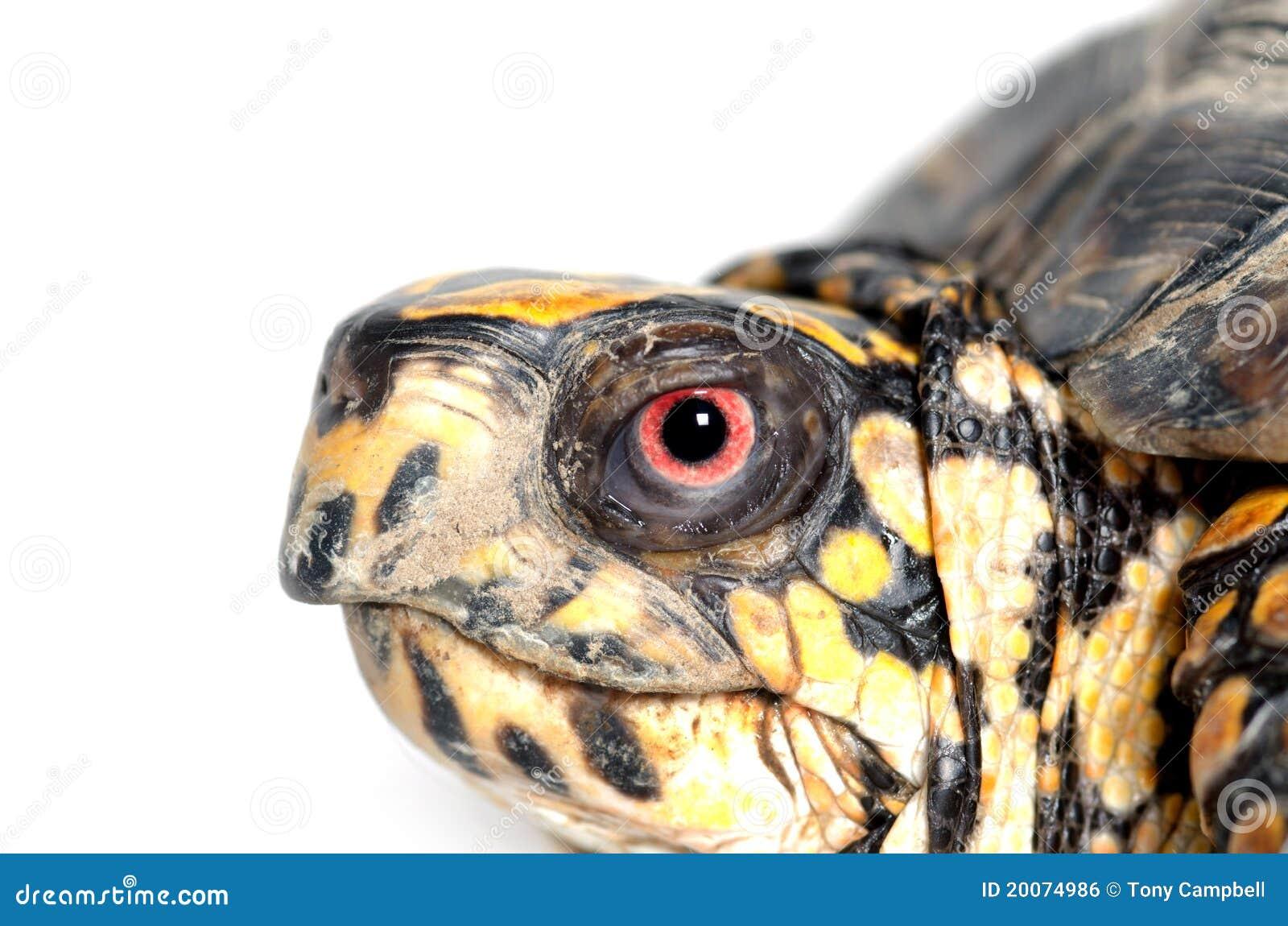 box turtle upside down royalty free stock image image