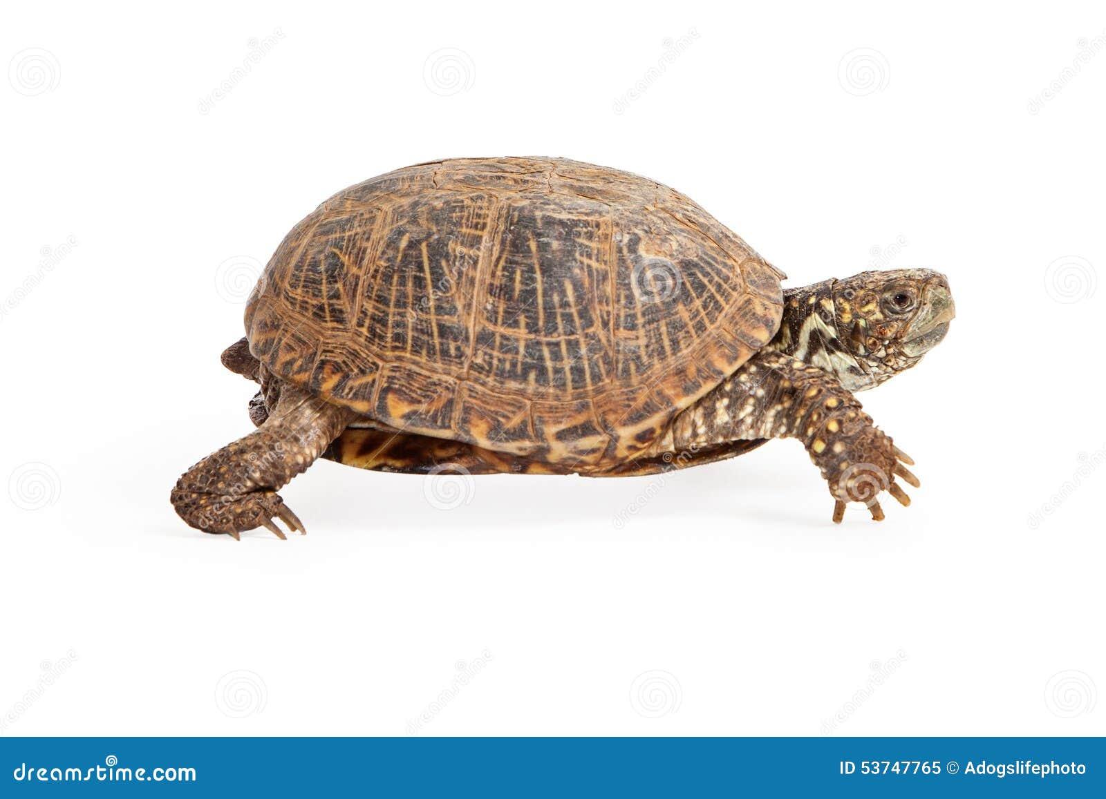 box turtle walking side view stock image image of states