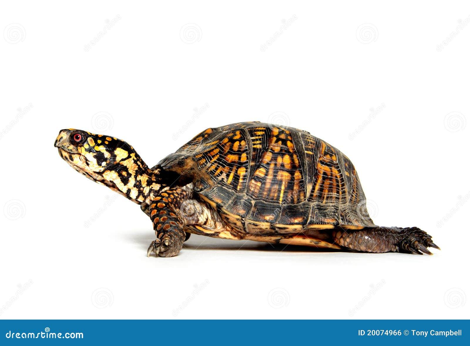 box turtle on white royalty free stock image image 20074966