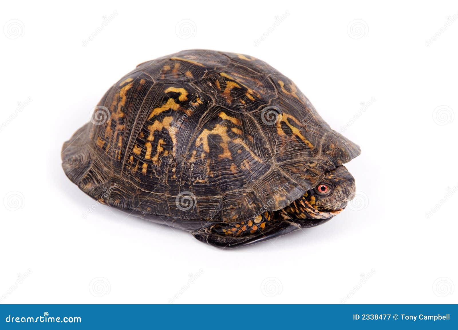 box turtle on white background royalty free stock