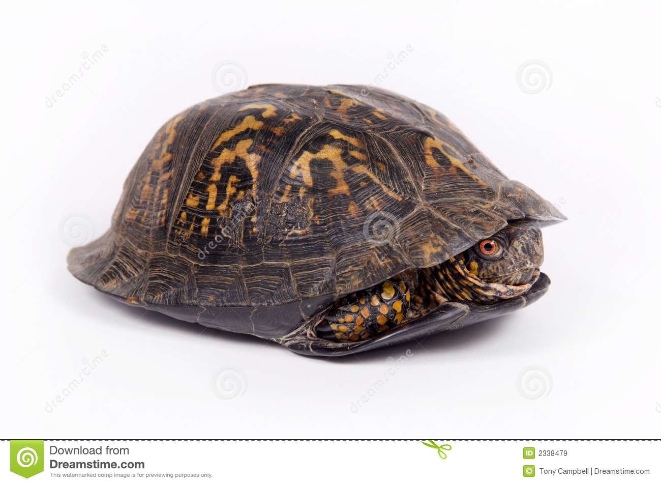 box turtle on white background royalty free stock images