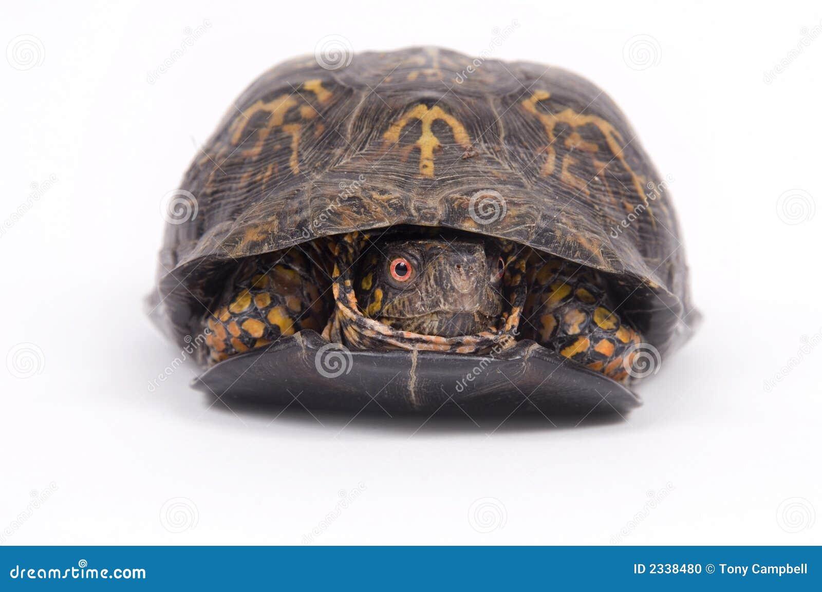 box turtle on white background stock photo image 2338480