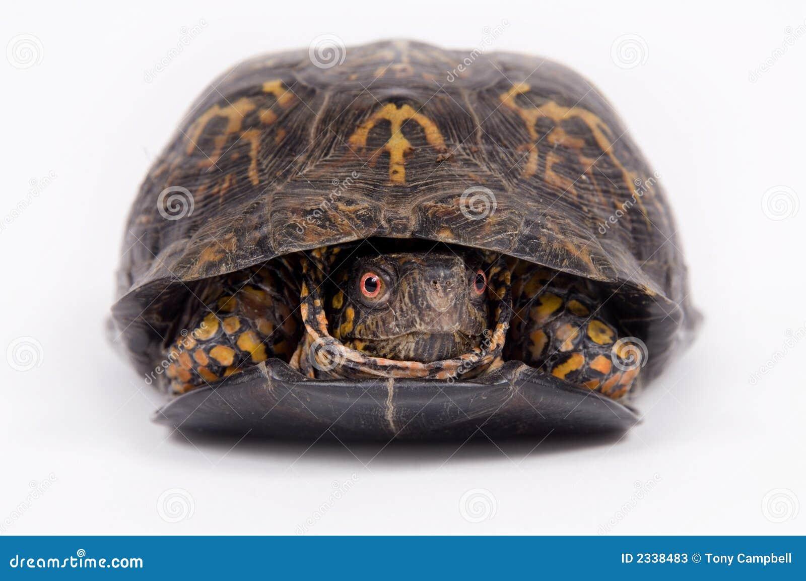 box turtle on white background stock image image of